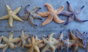 Colour variance of the Northern Pacific Seastar.