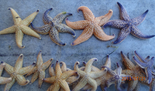Sample of Northern Pacific Seastars removed May 2016